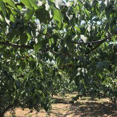 二寶櫻桃採摘園用戶圖片