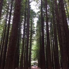 Redwoods, Whakarewarewa Forest User Photo