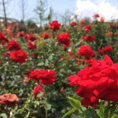 東林牧歌世界月季博覽園用戶圖片