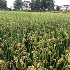Flower Fields of Dipu Village User Photo