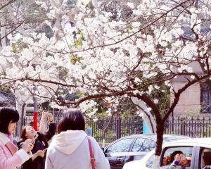 春天三月雞鳴寺踏春觀賞南京櫻花花海