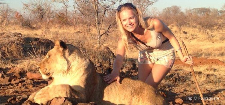 Lion Encounter Zimbabwe1