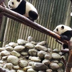成都大熊貓繁育研究基地用戶圖片