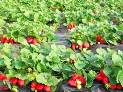 天禾種業小螞蟻紅顏草莓園