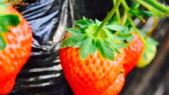 興旺草莓園(草莓採摘)