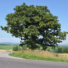 Seven Stars Tree User Photo