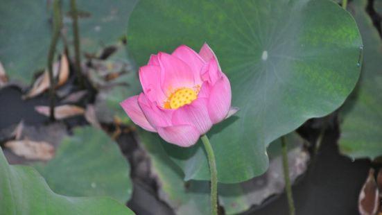 Yuanfei Lotus Garden