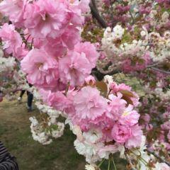용왕탕 벚꽃공원 여행 사진
