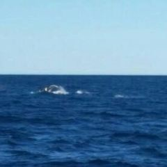 Whales in Paradise - Gold Coast Whale Watching Pty Ltd User Photo