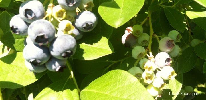 Buchan's Blueberry Hill2