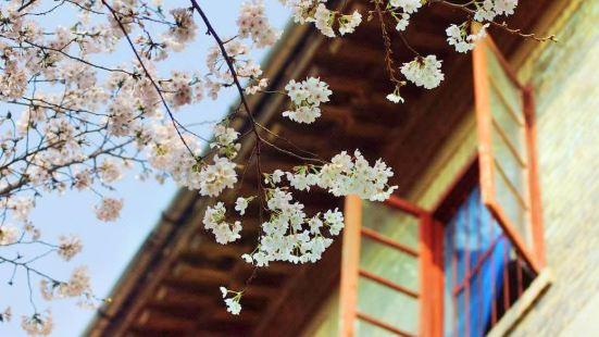 우한 벚꽃