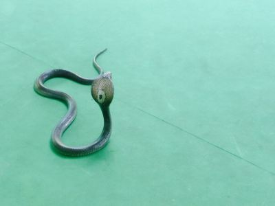 Phuket Cobra Show and Snake Farm
