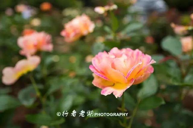 薔薇花兒開 深圳月季花展來襲 免門票趕緊去拍