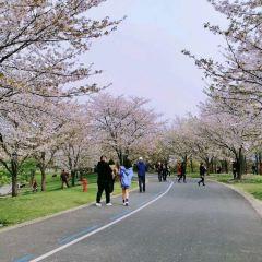 櫻花和服用戶圖片