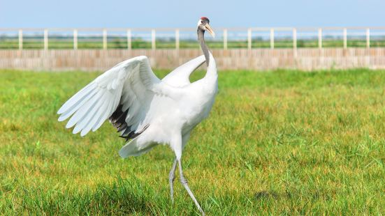 Yancheng Wetland National Nature Reserve Rare Birds