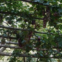 葡萄溝用戶圖片