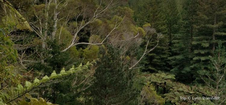 Redwoods, Whakarewarewa Forest3