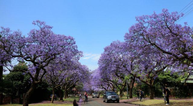 Jacaranda Avenue