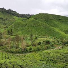 Boh Tea Estate User Photo