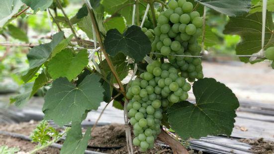 葡萄種植專業合作社