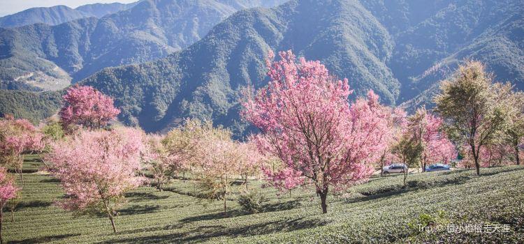 無量山櫻花谷2