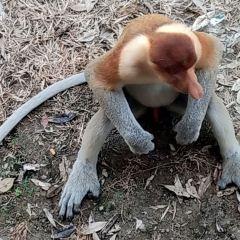 拉蔔灣長鼻猴保護區用戶圖片
