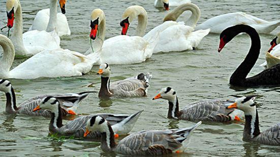 Swan Lake Animal Base