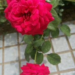 Chinese Rose Garden User Photo