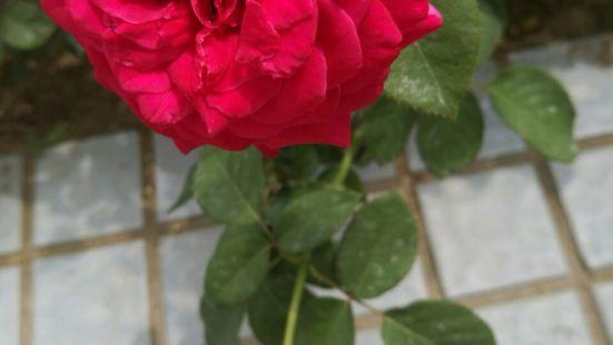 Chinese Rose Garden