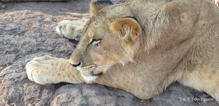 Lion Encounter Zimbabwe