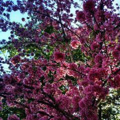 無量山櫻花谷用戶圖片