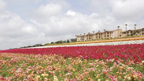 The Flower Fields at Carlsbad Ranch®
