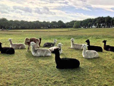 梅菲爾德羊駝館