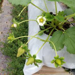 草莓農場用戶圖片