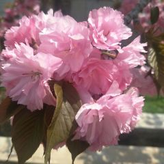 라이양쥐춘(래양탁촌) 벚꽃마을 여행 사진
