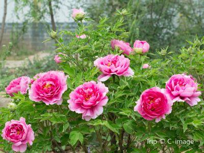 Han Peony Garden Scenic Region