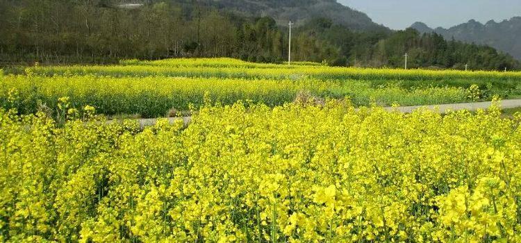 Tangjiawan Rapeseed Flower Field3