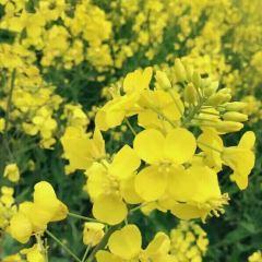Maotianzhou Rape Flower Sea User Photo