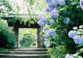 開滿紫陽花的寺廟
