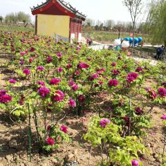 Chinese Peony Garden User Photo