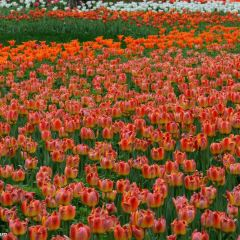 Jinzhan Tulip Garden User Photo