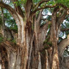 El Tule Tree of Life, Teotitlan Village, and Mitla Ruins Tour User Photo