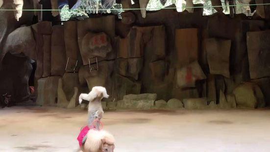 獼猴雜技表演