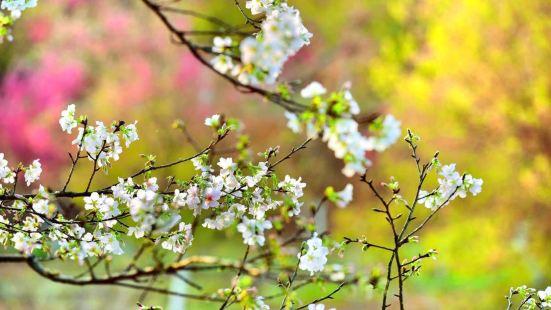 전장 벚꽃 공원