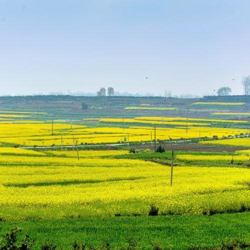 Hanzhong Canola Fields