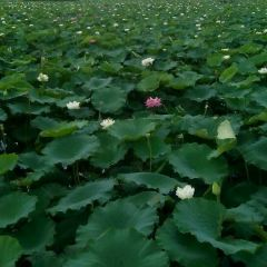 Yilong Lake Ten thousand Mu Lotus Garden User Photo