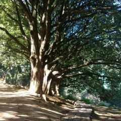 千手觀音古樹群用戶圖片