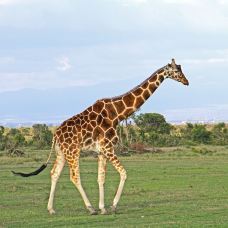 肯尼亚山动物孤儿院-纳纽基-juki235