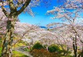 春の櫻 ❀ 春光無限好,來宮城看一目千本櫻