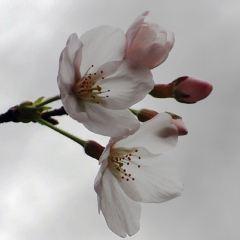 우한 벚꽃 여행 사진